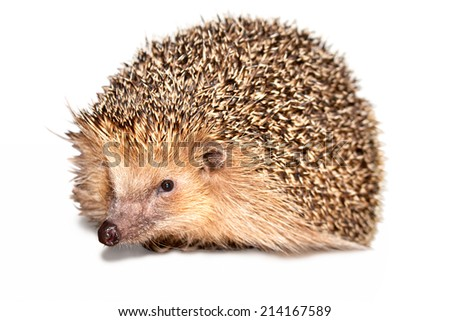 Mature hedgehog isolated on white background. - stock photo
