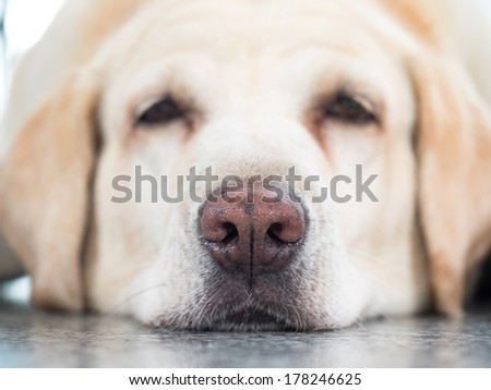 mature labrador sleeping on floor  - stock photo