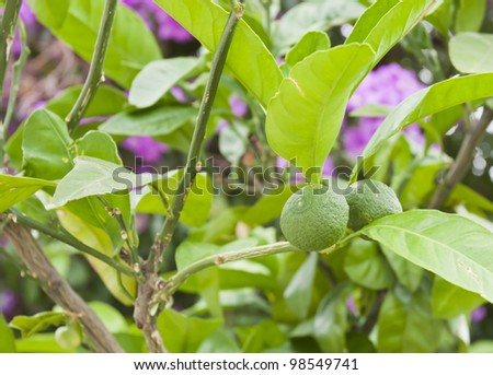 Mature lemons on tree - stock photo