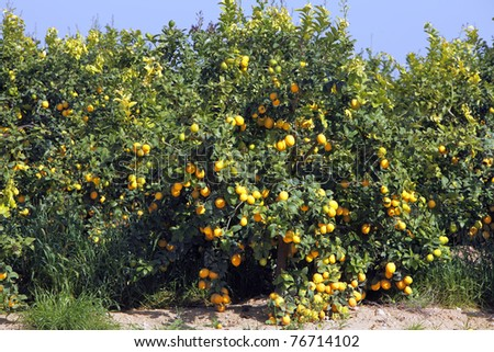 Mature lemons on trees - stock photo