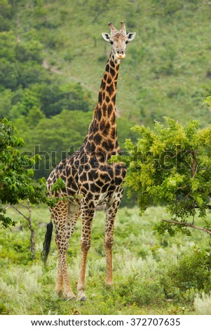 Mature Male Giraffe