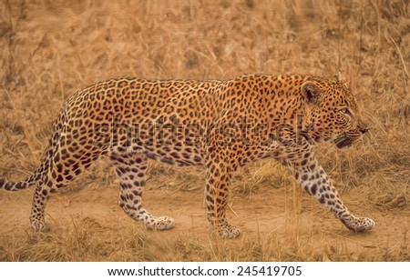 Mature male leopard patrolling his territory