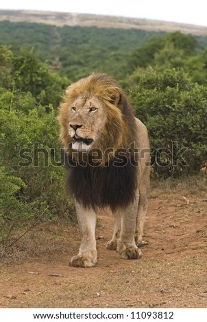 Mature Male Lion on the trail of Buffalo - stock photo