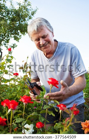 Mature man caring for roses in the garden - stock photo