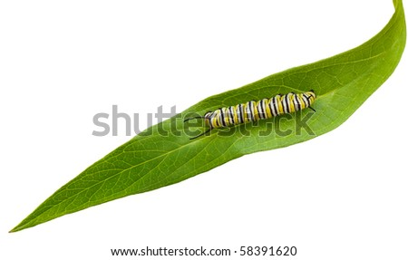Mature Monarch Caterpillar on green swamp milkweed leaf - stock photo