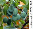 Mature plum on the branches of late autumn - stock photo