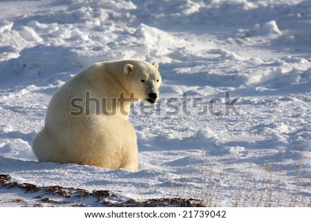 Mature polar bear searching for food in the arctic snow near Churchill, Manitoba