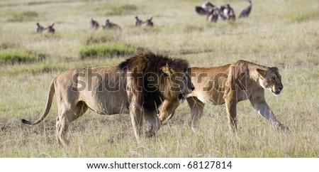 Mature pride leader lion with full developed mane and lioness  (Panthera Leo) walking in short grass  , Masai Mara, Kenya - stock photo