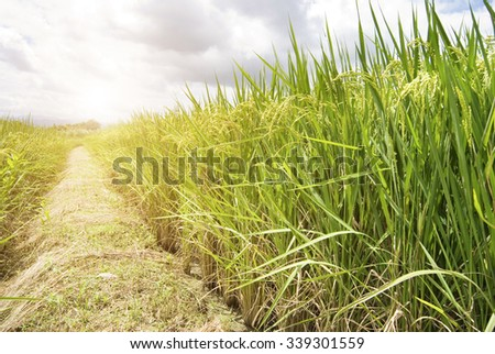 Mature Rice, Rice field with footpath, Taiwan, East Asia - stock photo