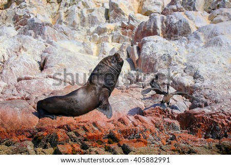 Mature South American sea lion (Otaria flavescens) in Ballestas islands Reserve in Peru. Ballestas islands are an important sanctuary for marine fauna - stock photo