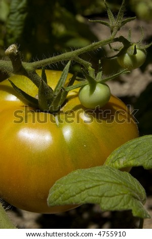 Mature tomato and buds in the orchard