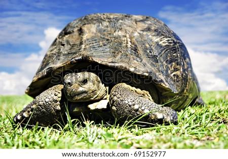 Mature tortoise walking on grass - stock photo