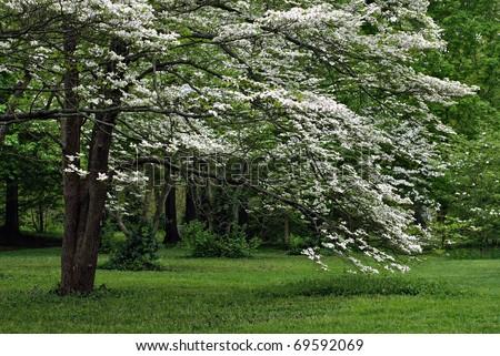 Mature white flowering dogwood tree in full bloom. - stock photo