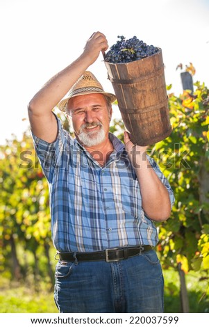 Mature winegrower harvesting black grapes in his vineyard - stock photo