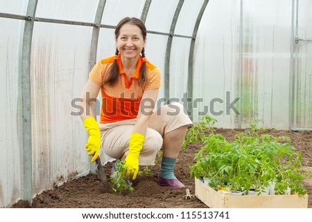 Mature woman planting tomato spouts in greenhouse