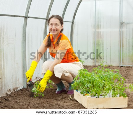 Mature woman planting tomato spouts in greenhouse - stock photo