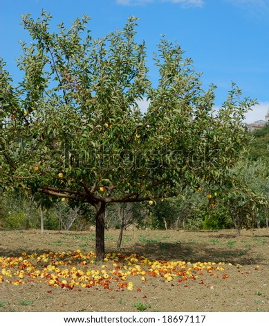 Mature yellow apples falling from the tree