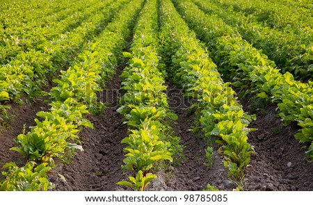 Matures next harvest beets, green field - stock photo