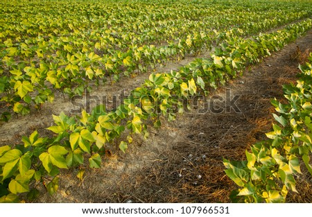Maturing cotton plants at sunrise in early summer. - stock photo