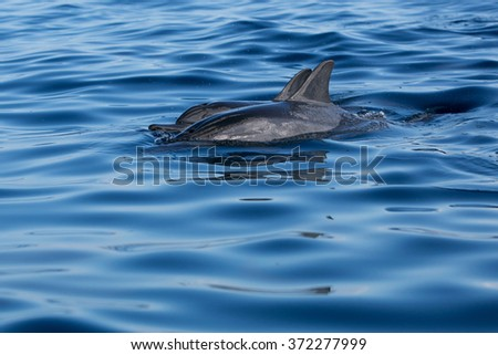 Mauritius dolphins