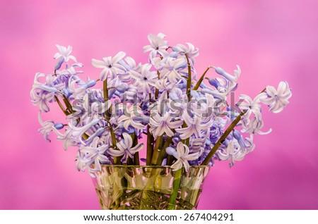 Mauve Hyacinthus orientalis flowers (common hyacinth, garden hyacinth or Dutch hyacinth) in a transparent vase, close up, pink gradient background - stock photo
