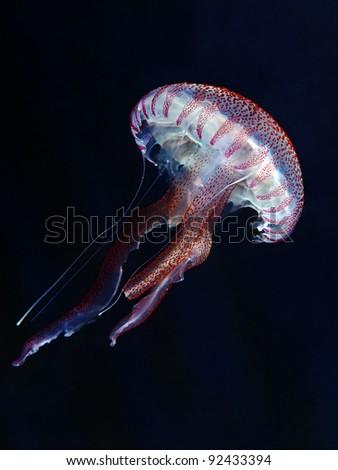 Mauve stinger (Pelagia noctiluca) - stock photo