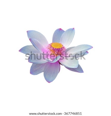 Mauve, violet nuphar flower, water-lily, pond-lily, spatterdock, Nelumbo nucifera, also known as Indian lotus, sacred lotus, bean of India, lotus, close up. - stock photo