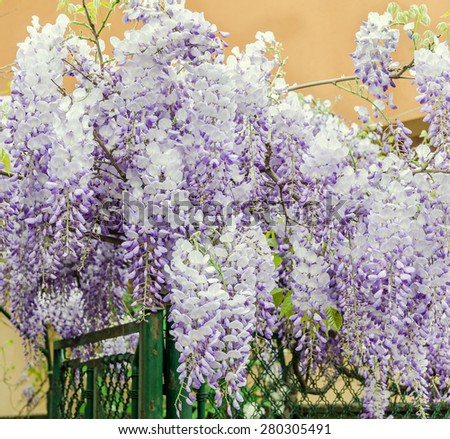 Mauve Wisteria sinensis (Chinese wisteria), Glicina tree flowers, close up. - stock photo