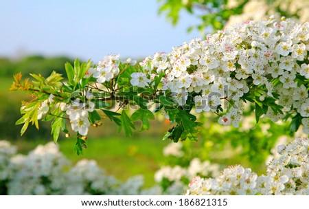may blossom - stock photo
