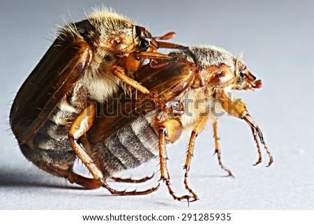 may-bug - stock photo