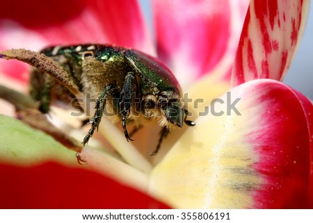 may-bug crawling on the Tulip