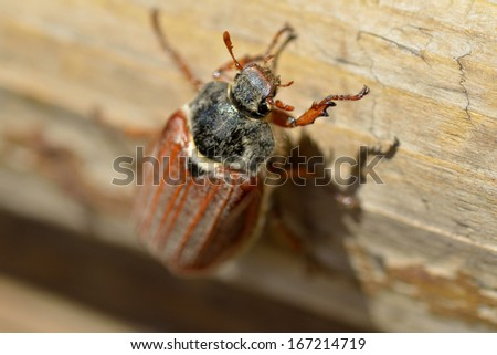 May bug or cockchafer (Melolontha melolontha)  - stock photo