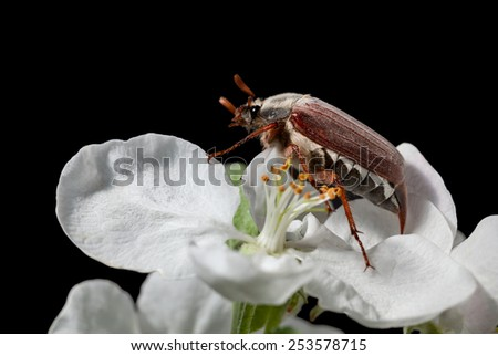 Maybug beetle (Cotinis nitida) in blooming apple isolated on black  - stock photo