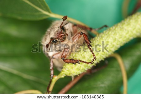 Maybug extreme closeup. - stock photo