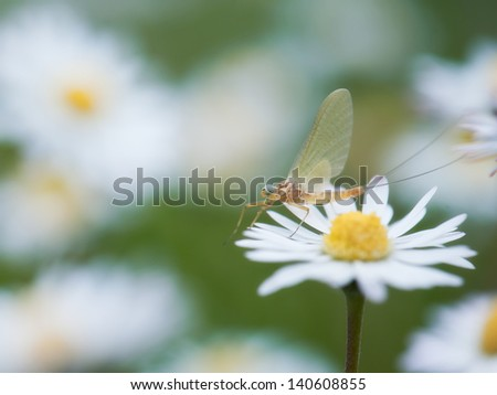 mayfly - stock photo