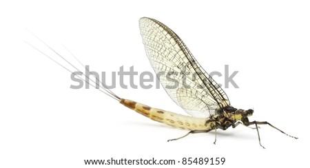 Mayfly, Ephemera danica, in front of white background - stock photo