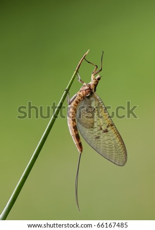 Mayfly, Ephemeroptera, hanging steadily on top of a grass leaf with a nice background