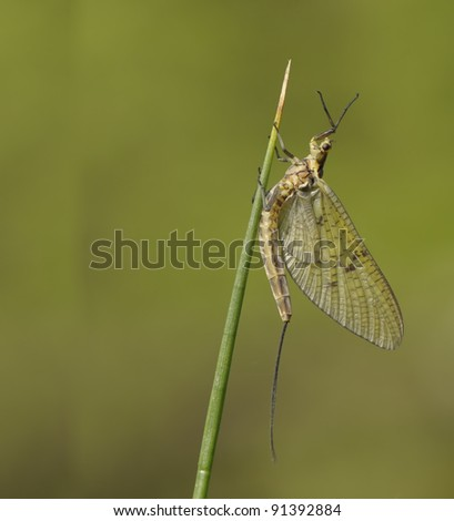 Mayfly, Ephemeroptera, hanging steadily on top of a grass leaf with a nice background - stock photo