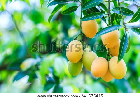Mayongchid Maprang Marian Plum and Plum Mango thailand Orchard - stock photo