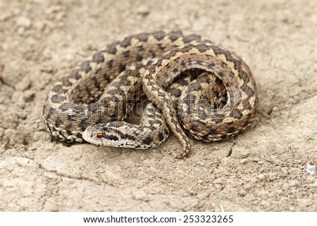 meadow adder on ground ( Vipera ursinii rakosiensis ), this the most rare specie of snake in Europe - stock photo