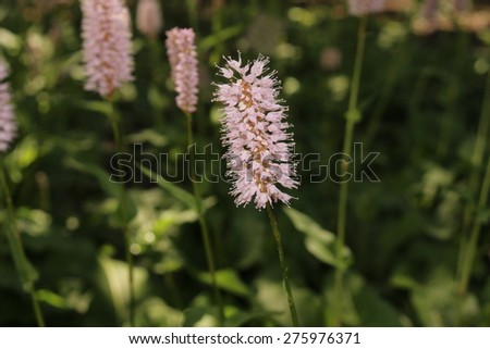 Meadow Bistort flowers (or Snakeweed, Common Bistort) in Innsbruck, Austria. Its scientific name is Polygonum Bistorta, a perennial plant native to Central Europe and Central Asia.