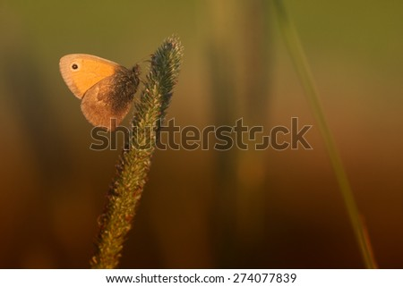Meadow brown (Maniola jurtina) butterfly on grass - stock photo