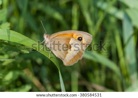 Meadow brown (Maniola jurtina) butterfly sitting on a grass blade in shadows of summer herbs - stock photo