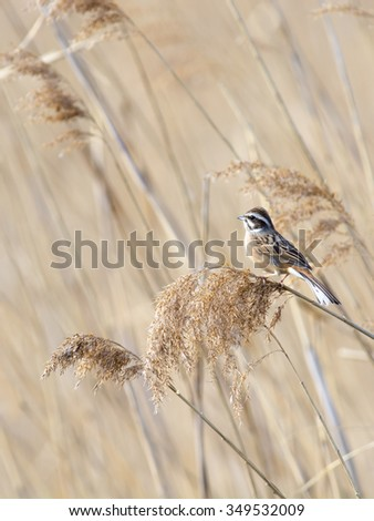 Meadow bunting perching on reed. - stock photo