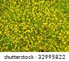 Meadow covered with lots of wild yellow flowers - stock photo