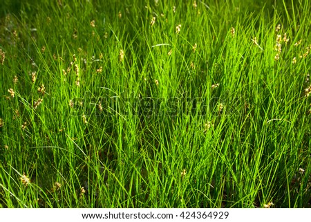 meadow. drops of dew and in sunshine on the spring green grass. Close-up. - stock photo