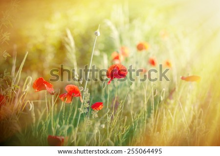 Meadow flowers - red poppy flowers lit by sun rays in late afternoon - stock photo