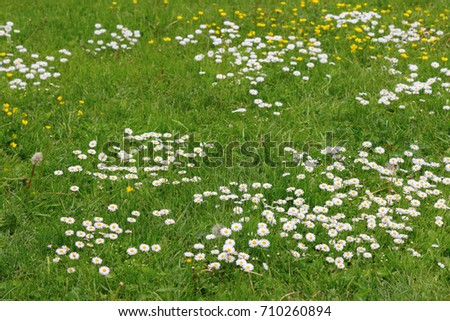 Meadow flowers white yellow flowers growing stock photo royalty meadow flowers white and yellow flowers growing on field many small chamomiles on lawn mightylinksfo