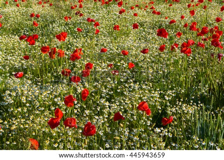 Meadow full of blooming flowers. Red poppies and chamomiles
