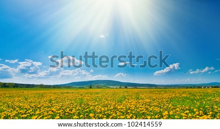 Meadow full of dandelions with sunshine - stock photo